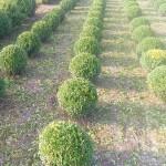 Buxus sempervirens bollen